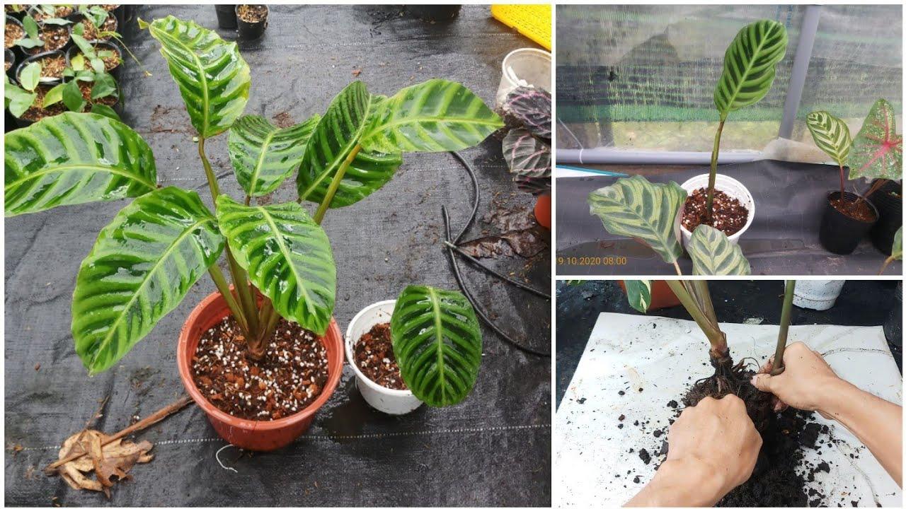 How to propagate Calathea zebrina by divison