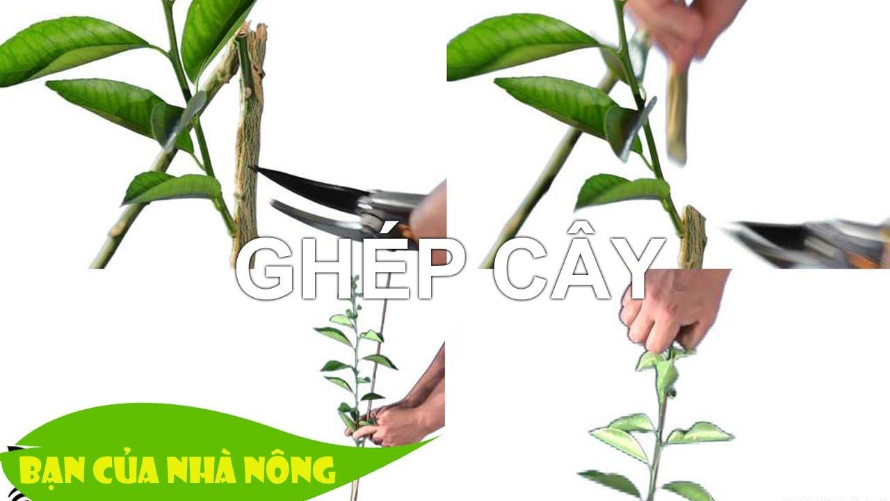 Hướng dẫn chi tiết cách ghép tất cả các loại cây ăn quá - Đơn giản mà hiệu quả ghê luôn