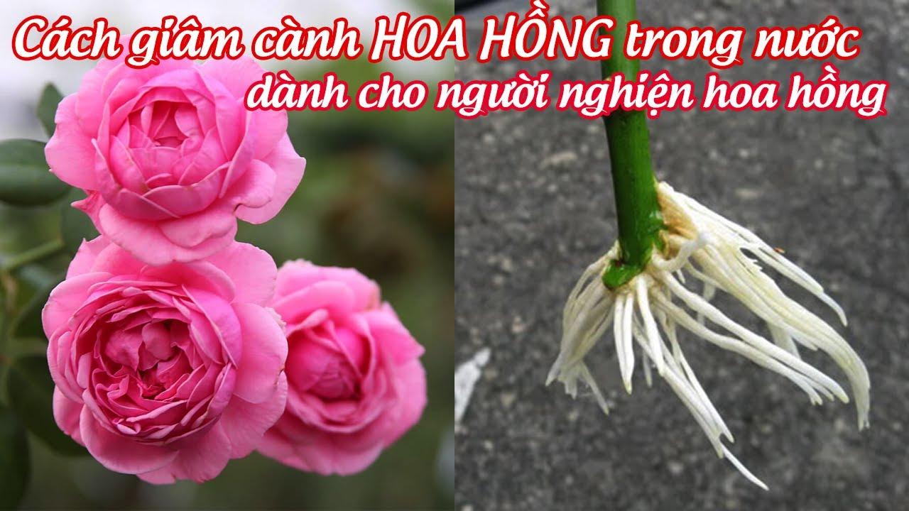 Hướng dẫn giâm cành hoa hồng trong nước, người nghiện hoa hồng không thể bỏ qua