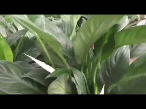 Ít người biết trồng cây lan ý nhỏ mang lại lợi ích lớn