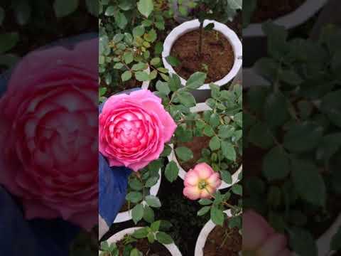 Juniel chuẩn rose