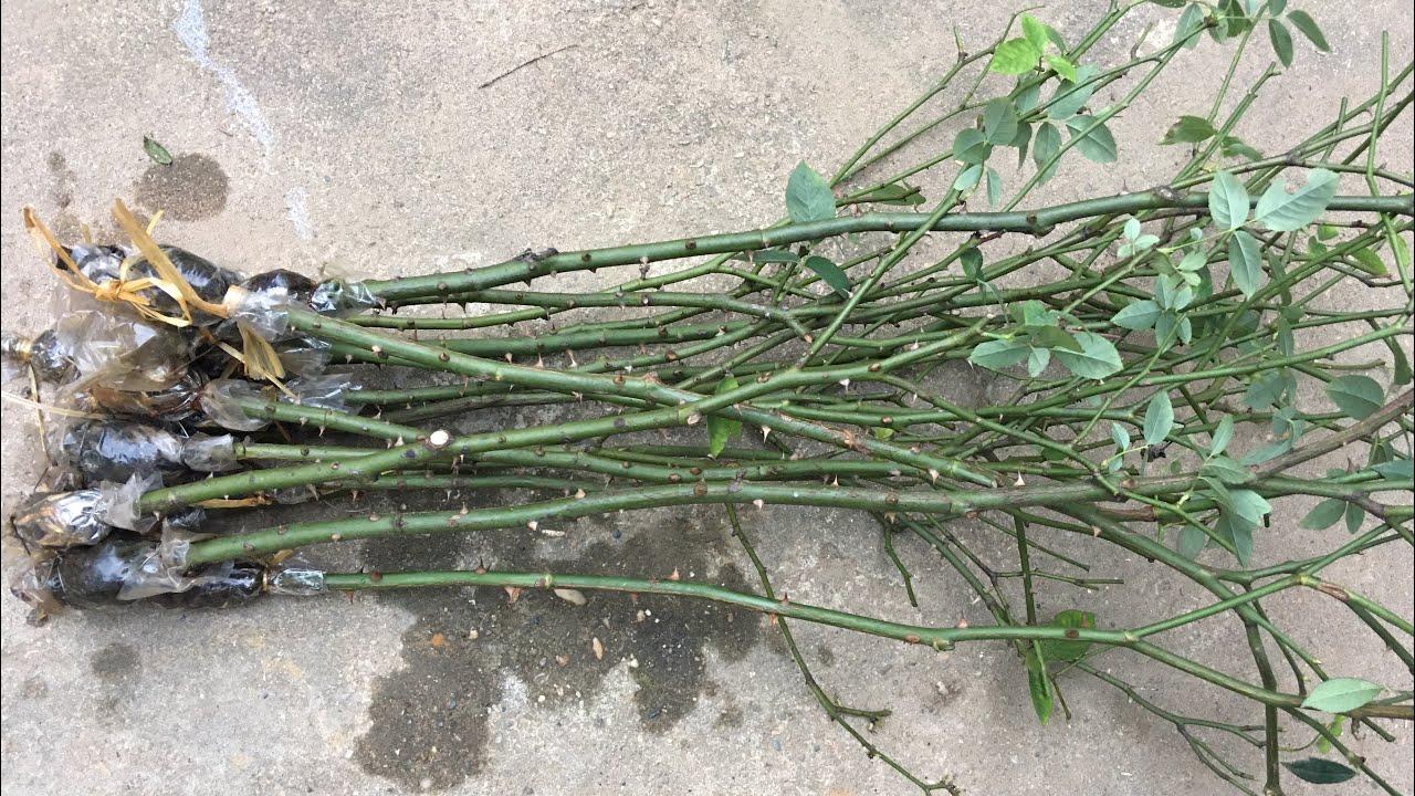Kiểm tra tình trạng cành chiết hoa hồng | Kênh làm vườn S Garden