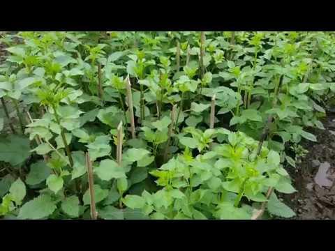 Kỹ thuật trồng hoa thược dược đón tết, không xem lãng phí