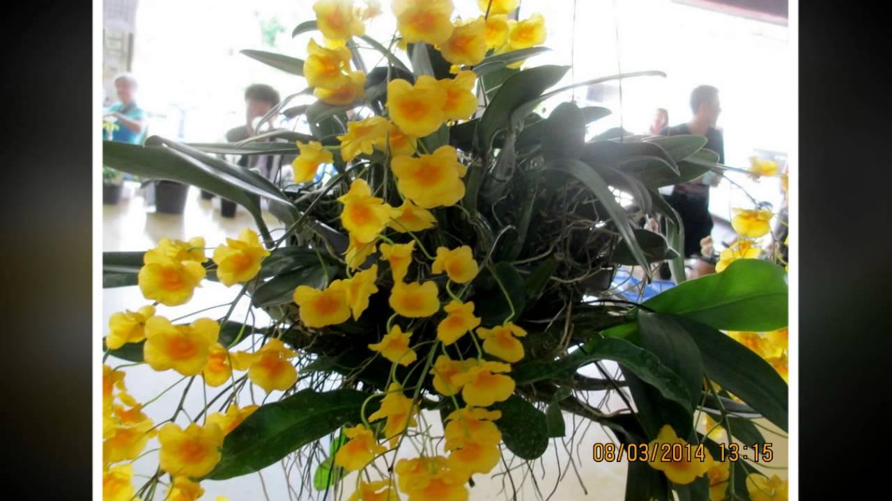Lan thủy tiên mỡ gà vàng (Dendrobium densiflorum)