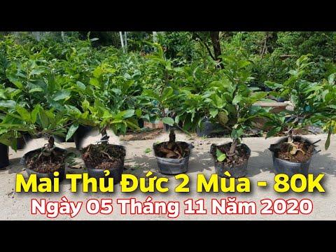 Mai Giảo Thủ Đức 2 Mùa - Tàn Nhiều - Đế Đẹp - 80K/ Cây- 05/11/2020