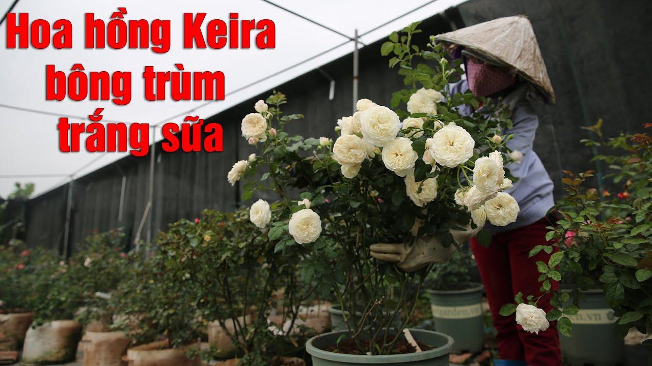 Mãn nhãn với những chùm hoa hồng trắng sữa Keira tới từ Anh