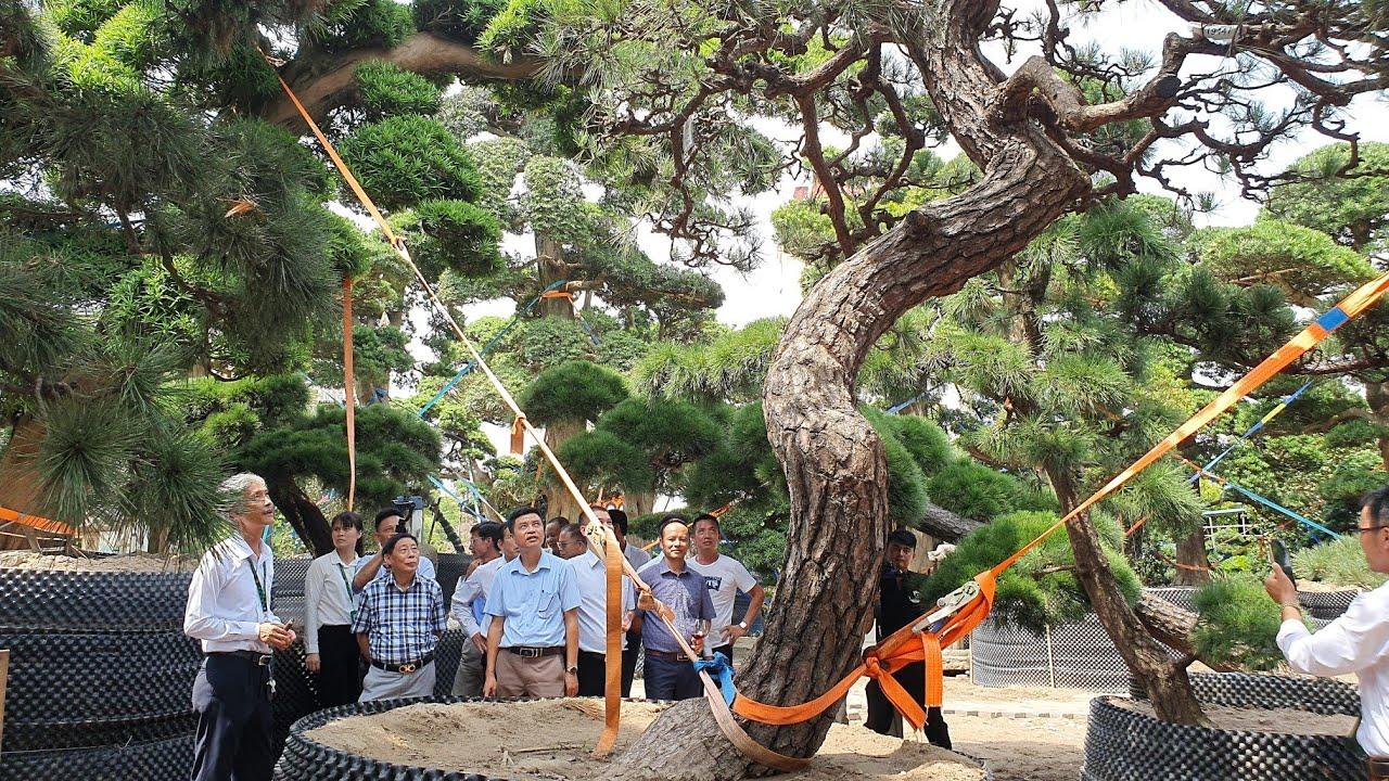 Một số vườn Tùng lớn nhất VN. KN 10 năm thành lập Cty (Tùng La Hán Nhật Bản) tại Đông Anh - Hà Nội.