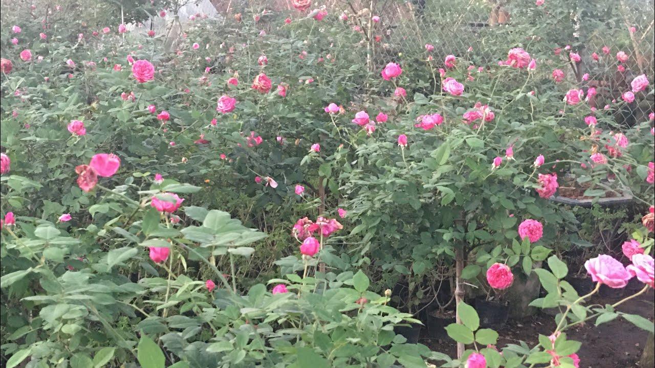 Mùa đông, mùa cuar hoa hồng|Hồng cổ sapa dáng tree