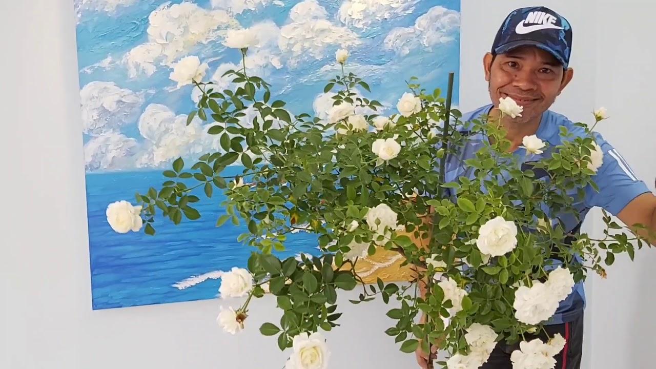 Ngắm Siêu phẩm, Anh Chị Ơi. Whatching super beautiful roses