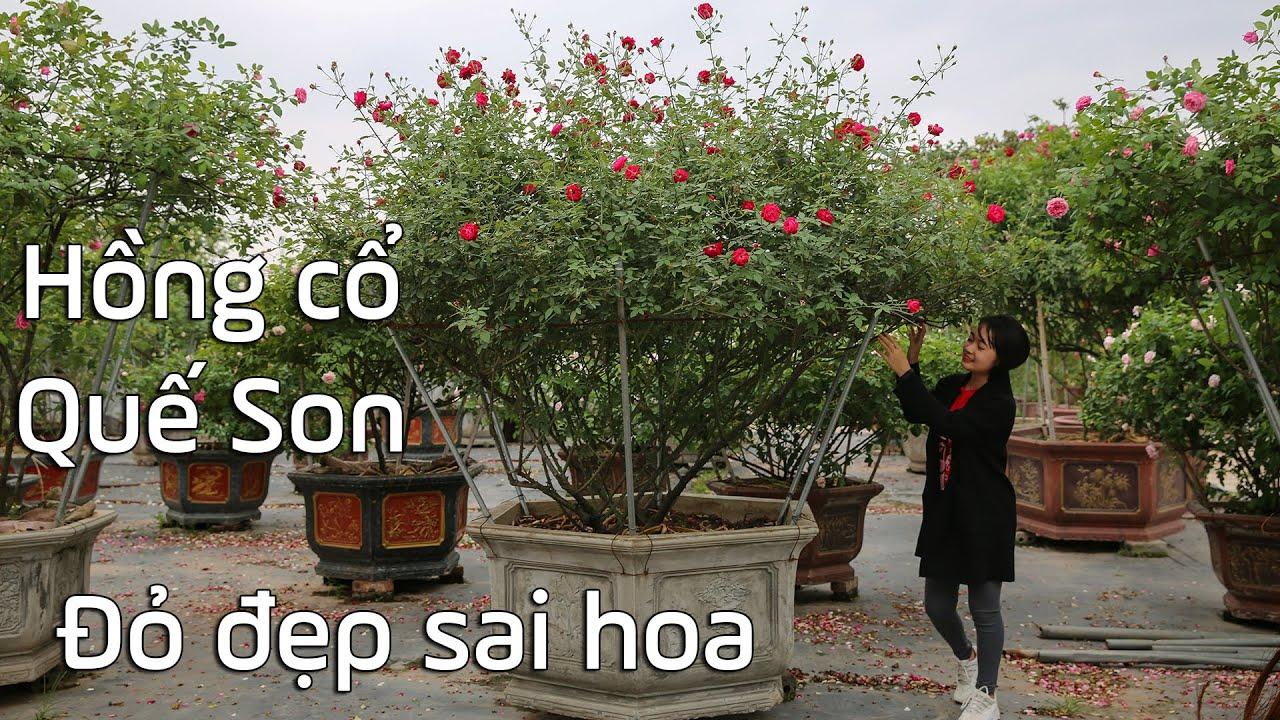 Ngỡ ngàng với hồng cổ Quế Son của Việt Nam, đỏ đẹp sai hoa