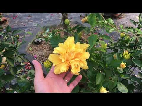 Nguyên nhân nụ hoa dâm bụt rụng không nở hoa, cách khắc phục