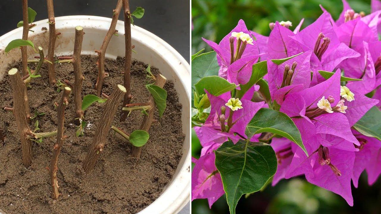 Nhân giống cây hoa giấy bằng cành - Propagate bougainvillea glabra from cutting