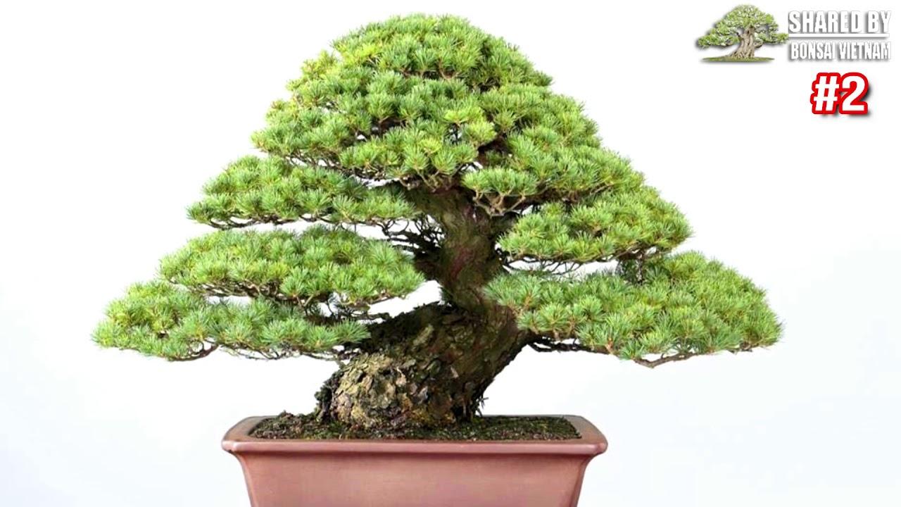 Những cây Thông Trắng Bonsai Nhật Bản || Bonsai đẹp đáng học hỏi ▶2