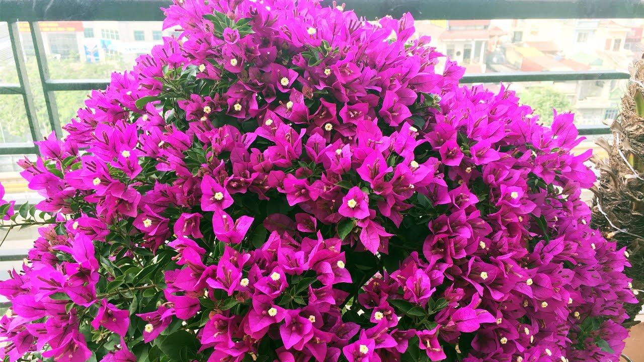 Những cây hoa giấy sai trĩu hoa sau 45 ngày xiết nước