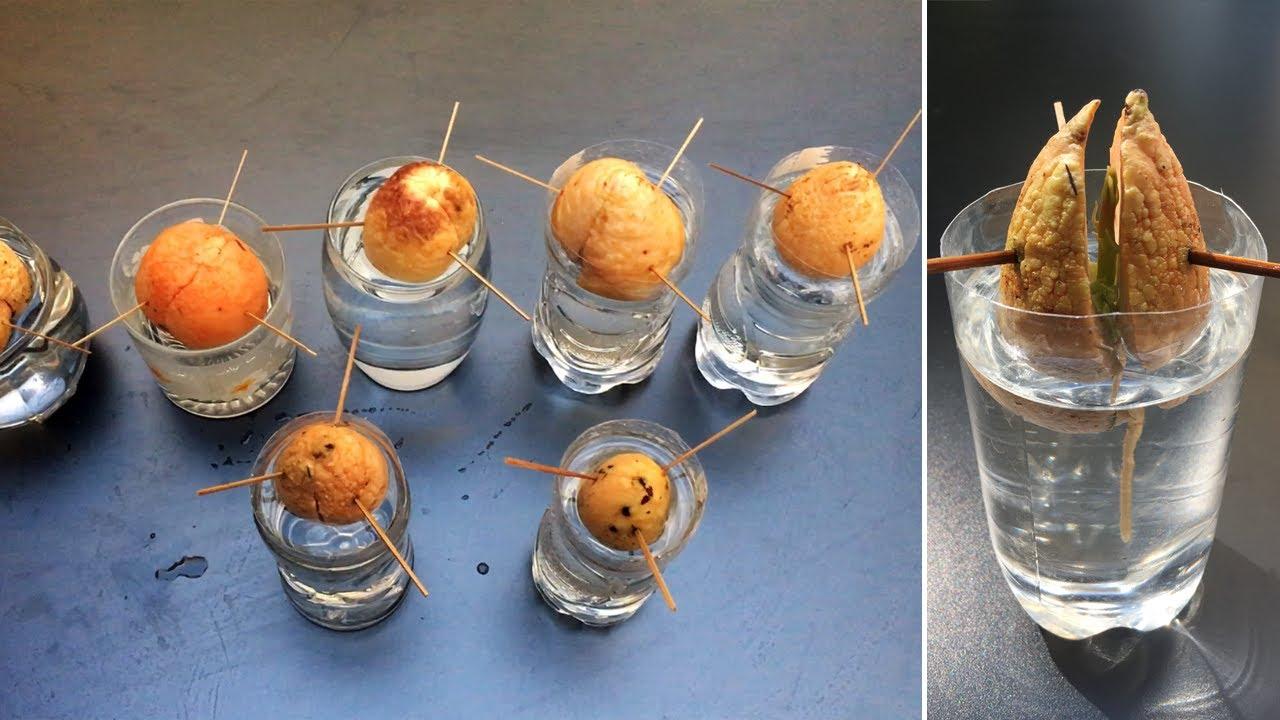 Những chiếc hạt xinh xắn - Ươm hạt bơ trong nước - Grow avocado seeds in water