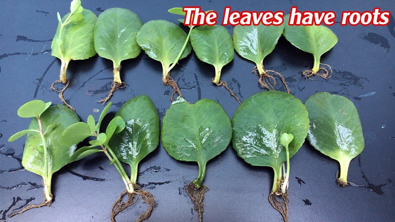 Những chiếc lá mọc rễ - điều kỳ diệu của tự nhiên - The leaves have roots