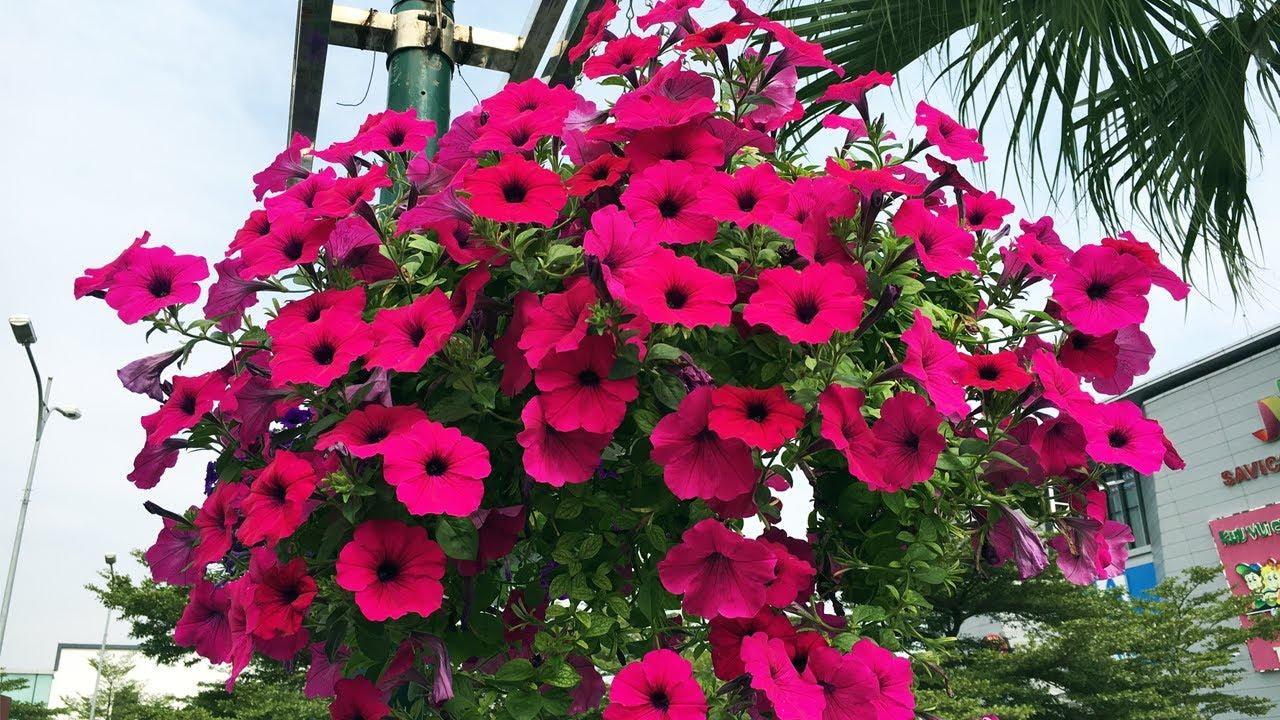 Những màu hoa dạ yến thảo được nhiều người yêu thích