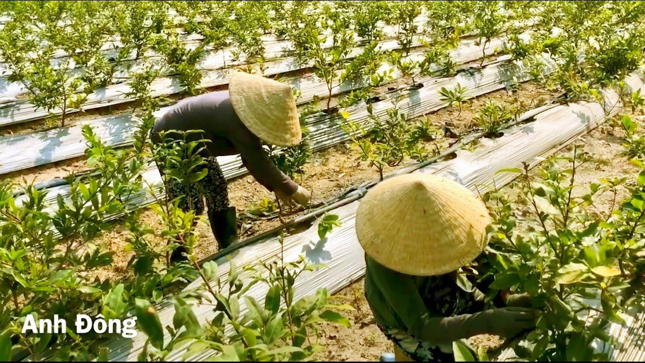 P3 cách trồng mai từ cây con