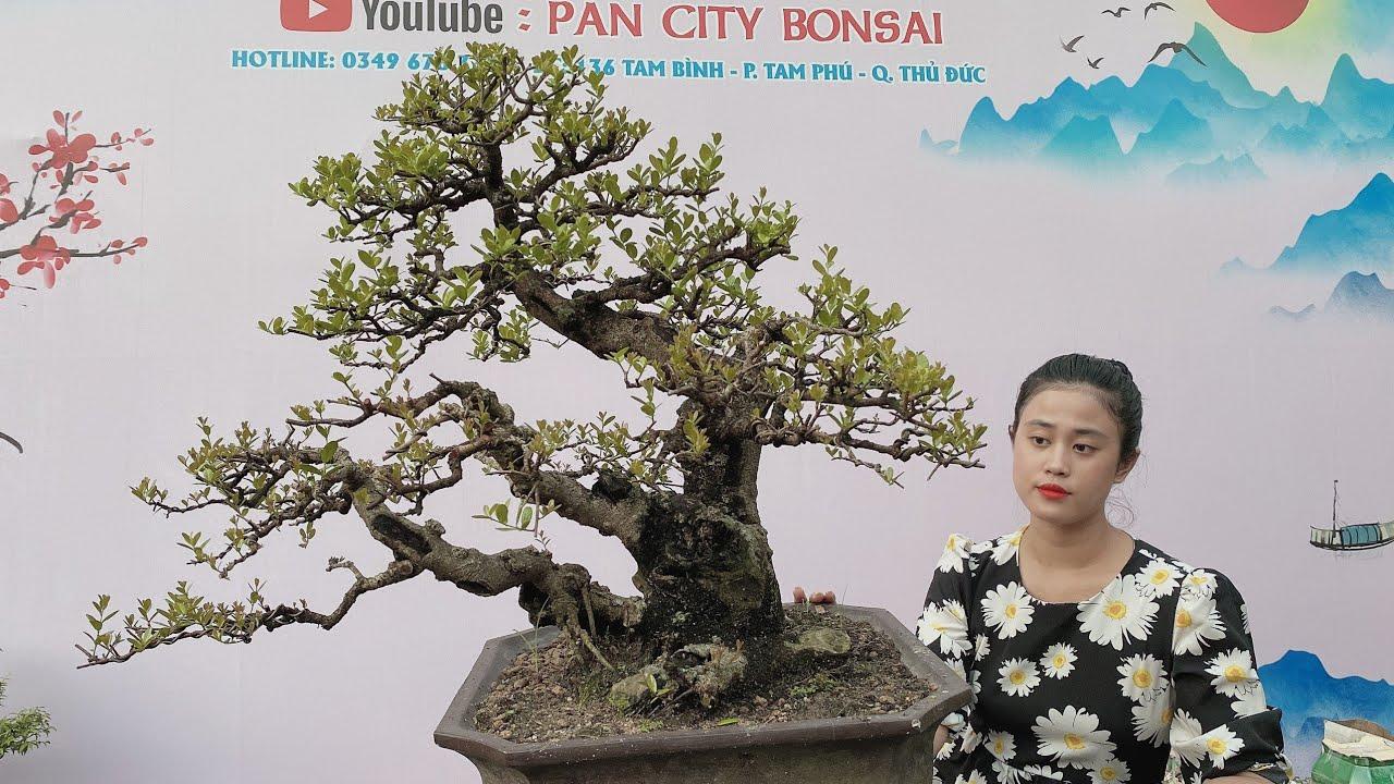 Pan City 213 | Cây hải châu cổ lão giá cạnh tranh cùng trang sen, mai chiếu thủy, mai hồng ngọc