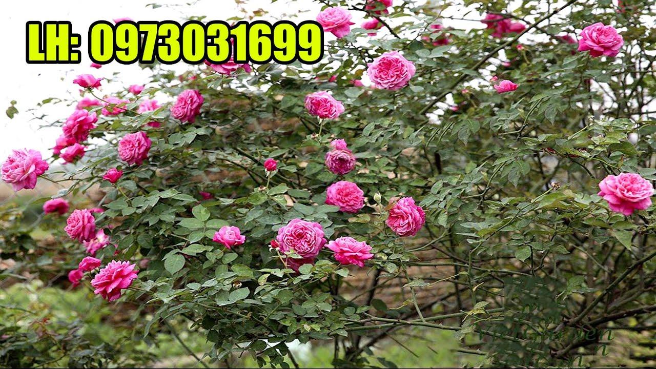 Phát hiện vườn hồng Sapa cổ cực đẹp, giá quá rẻ, dễ mua cho các bác chơi (liên hệ 0973031699)