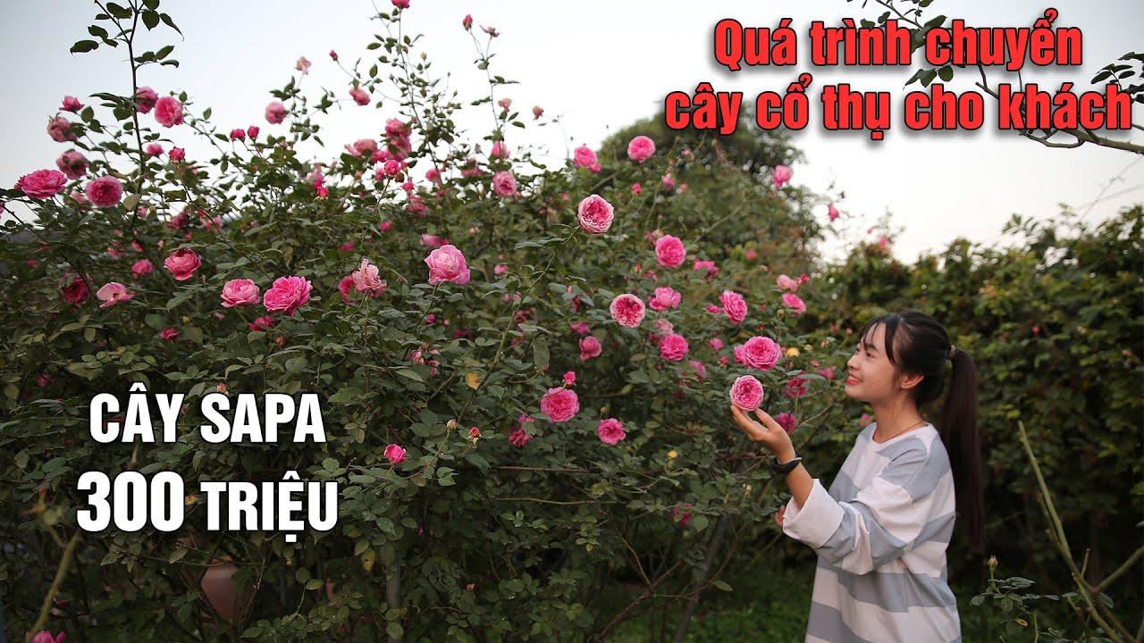 Quá trình chuyển cây hồng Sapa cổ thụ 300 triệu cho khách hàng