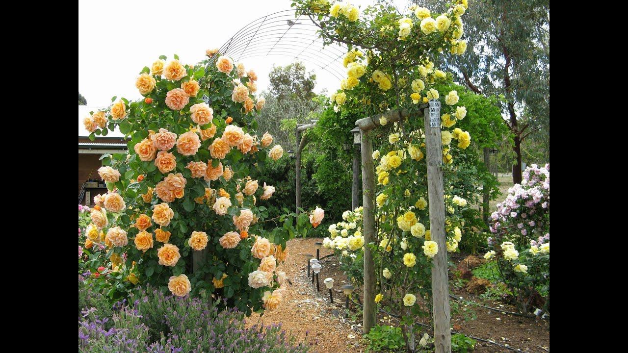 Thiết kế sân vườn, hàng rào bằng hoa hồng leo (Best Climbing Roses, Landscaping with Climbing Roses)