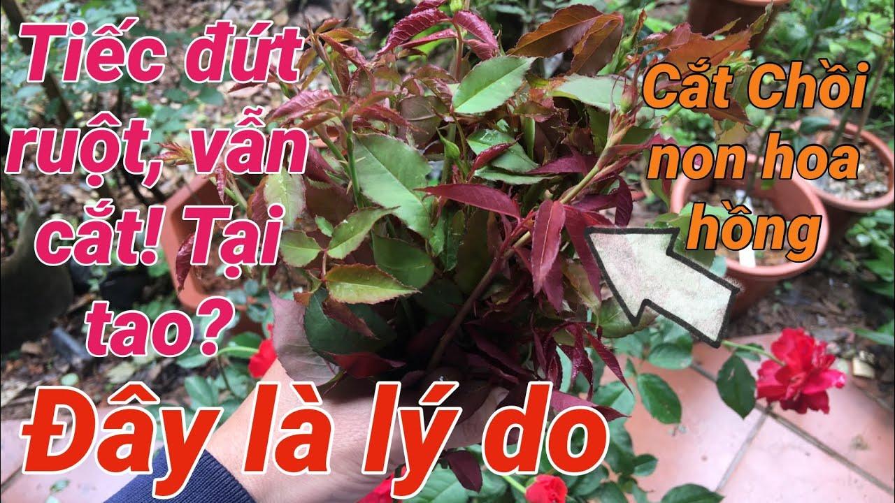 Tiếc đứt ruột vẫn cắt chồi hoa hồng, câu trả lời có trong video | S Garden