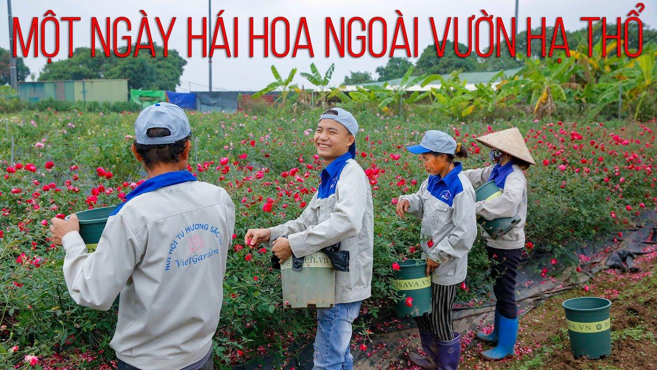 Trải nghiệm hái hoa hồng sạch tại vườn hồng Vietgarden