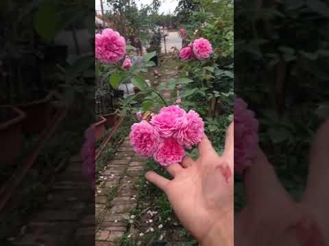 Tree rose Elizabet