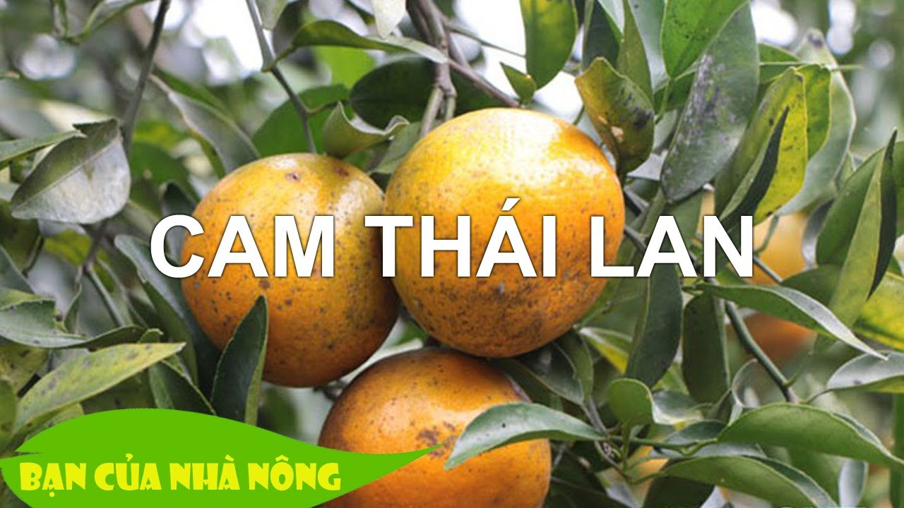Trồng Cam Thái Lan hướng đi mới đem lại hiêu quả kinh tế cao