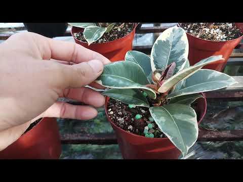 Trồng cây đa búp đỏ cẩm thạch