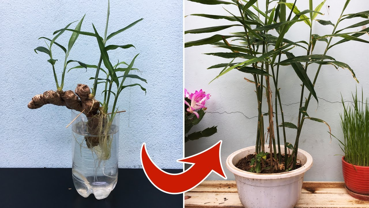 Trồng gừng trong chậu |  Plant ginger in pots