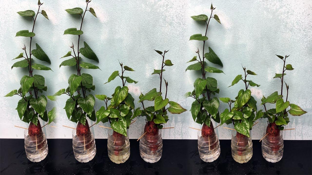Trồng khoai lang trong nước - Growing sweet potatoes in the water