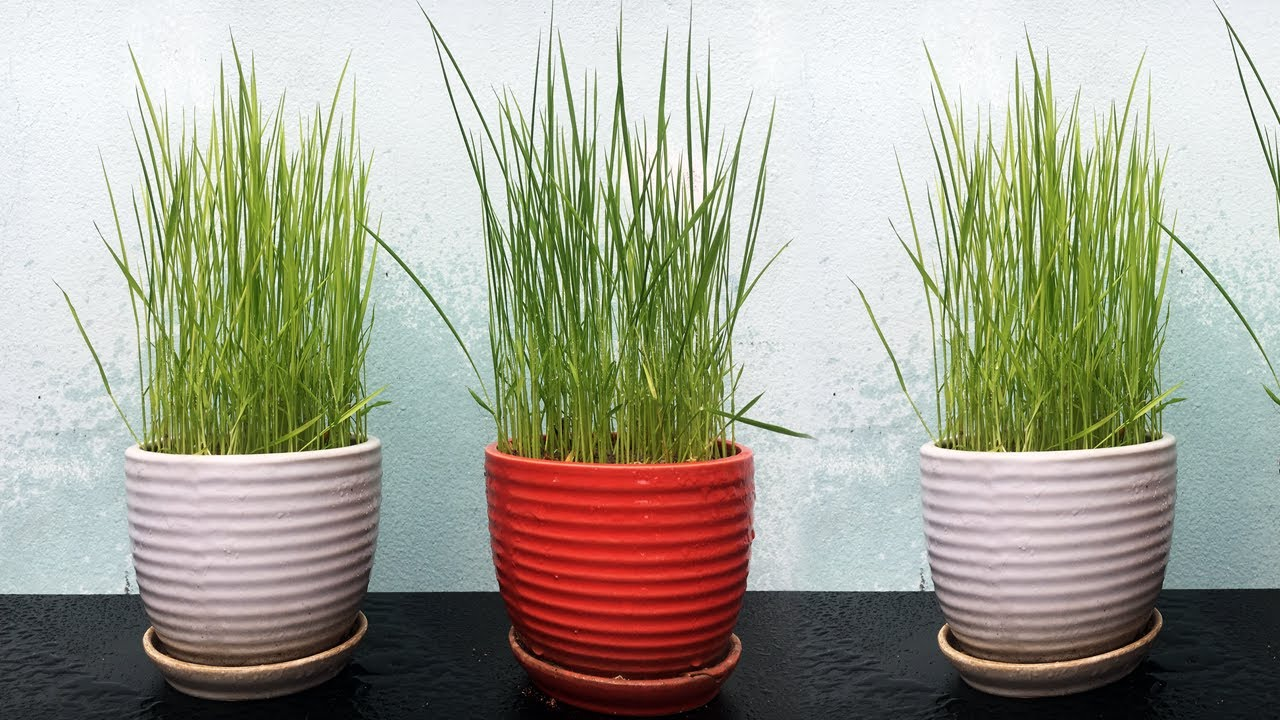Trồng lúa làm cảnh để bàn đơn giản mà đẹp