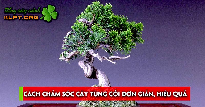 cach-cham-soc-cay-tung-coi-don-gian-hieu-qua
