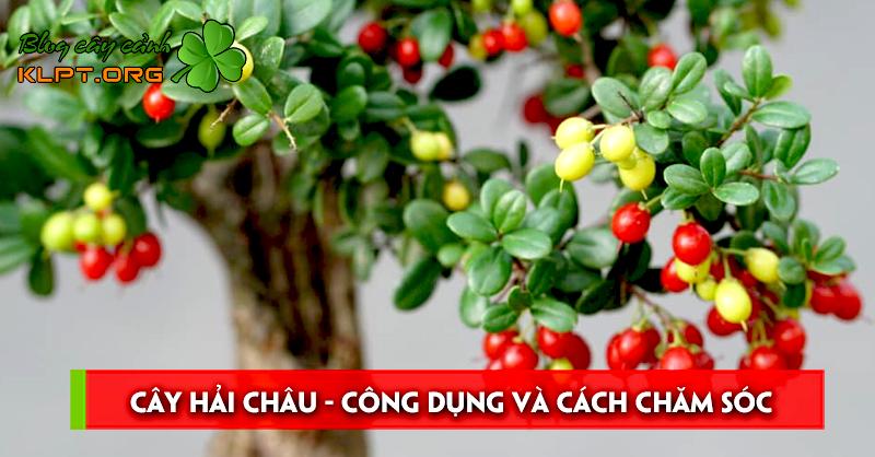 cay-hai-chau-cong-dung-va-cach-cham-soc