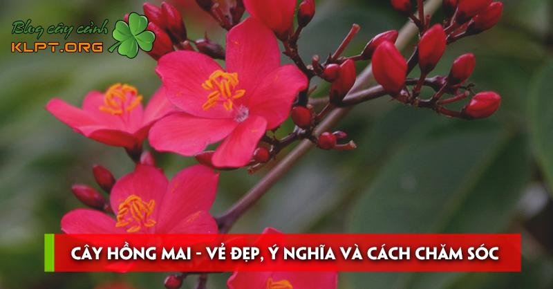cay-hong-mai-ve-dep-y-nghia-va-cach-cham-soc