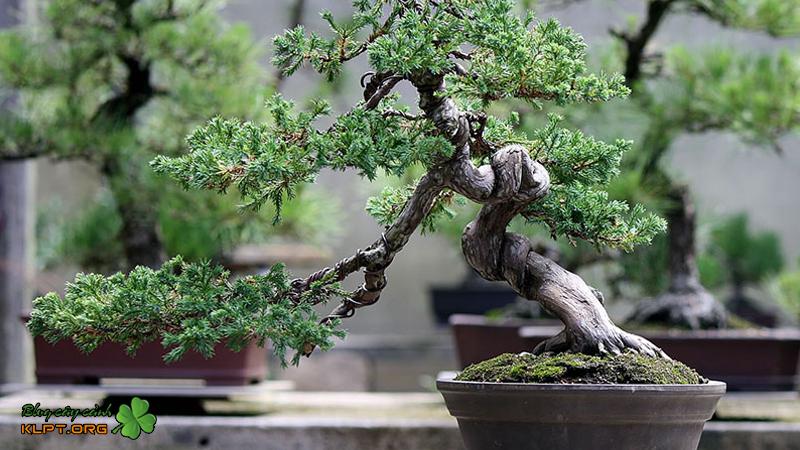 cay-kieng-bonsai-la-gi-klpt-1