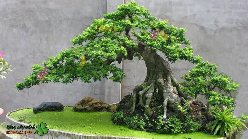 cay-kieng-bonsai-la-gi-klpt