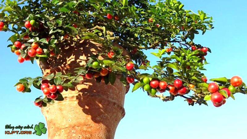 cay-kim-quyt-bonsai-mini-klpt