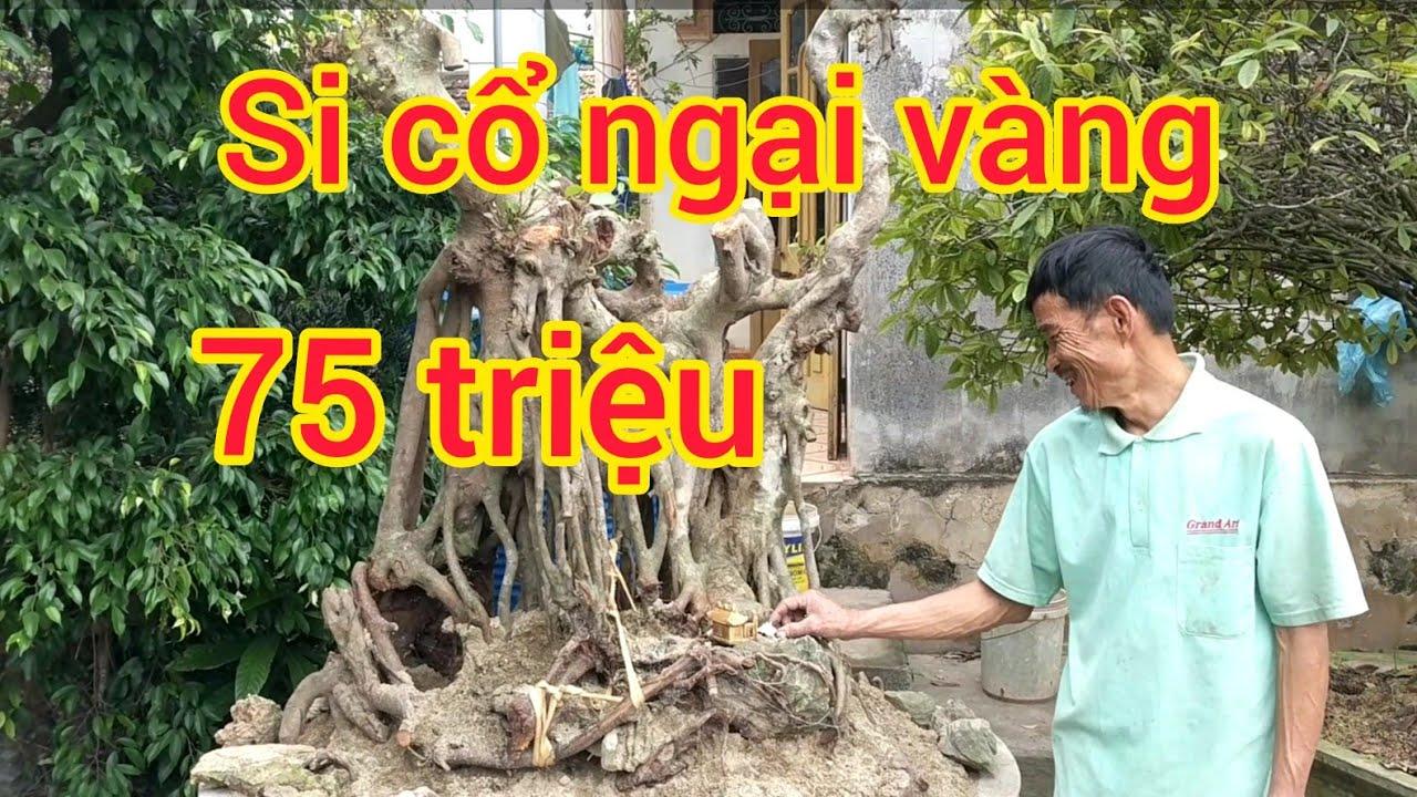 cây si cổ ngai vàng báo giá 75  triệu cảnh mẫu đơn vào 35 gôc si khủng báo giá anh em tham khảo