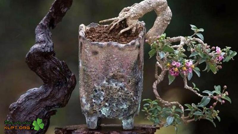 hong-ngoc-mai-bonsai-mini-klpt