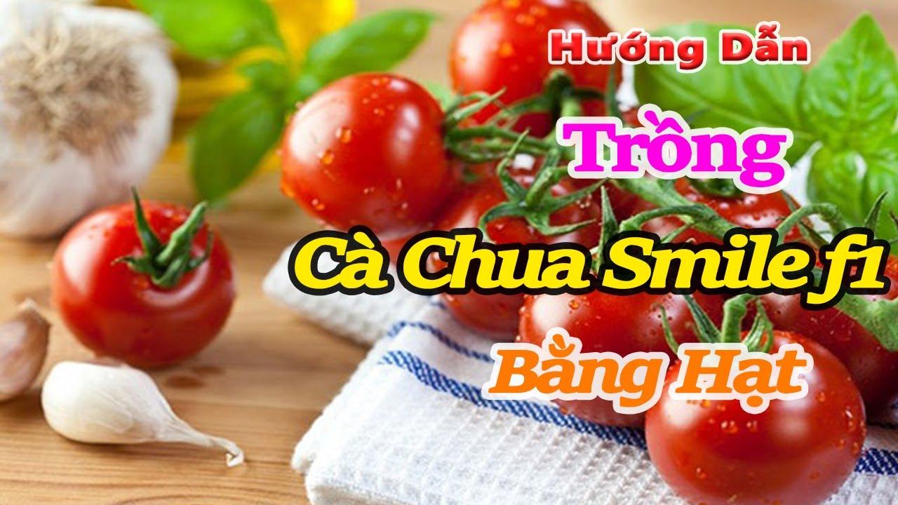 hướng dẫn trồng cà chua smile f1