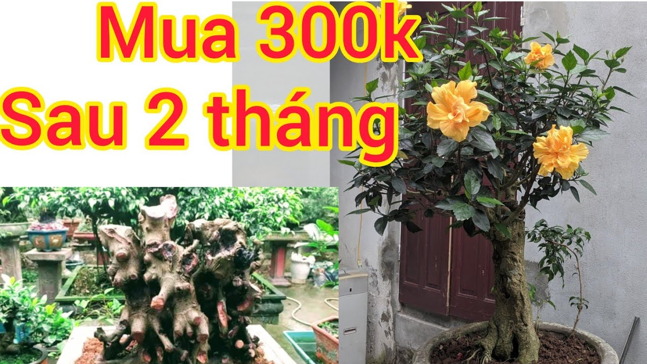mua 300k của bác bắt rắn sau 2 tháng hoa nở rực rỡ và tham khảo phôi SI KHỦNG VỪA GIAO DỊCH VỀ