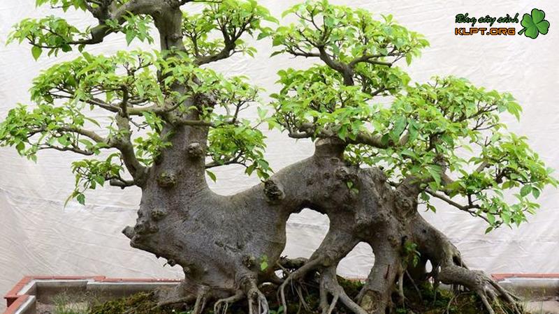 nhung-cay-duoc-chon-lam-cay-kieng-bonsai-klpt