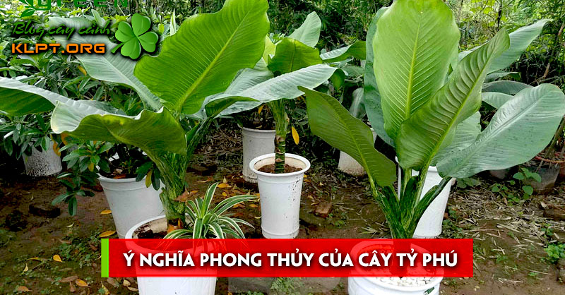 y-nghia-phong-thuy-cua-cay-ty-phu