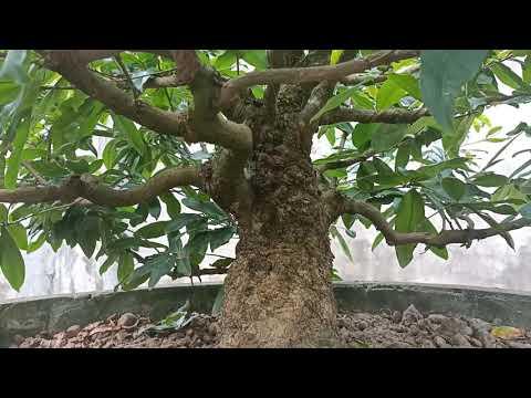 Vườn mai vàng tiền tỷ ở U Minh Cà Mau - Phần 1