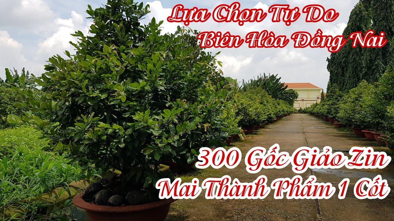 300 gốc mai Giảo Thủ Đức thành phẩm của anh Tuấn 0925691973