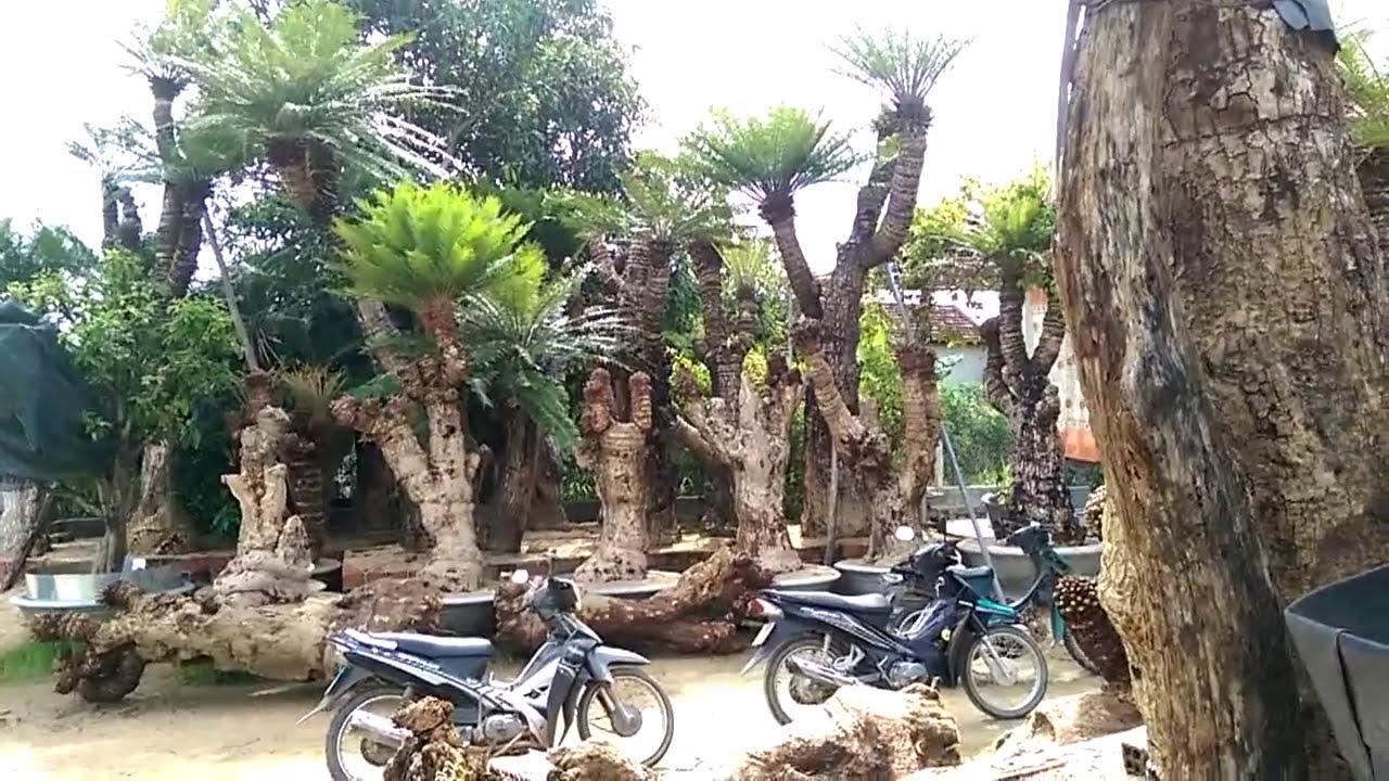 BONSAI VIỆT-Vườn vạn tuế bá đạo không xem phí