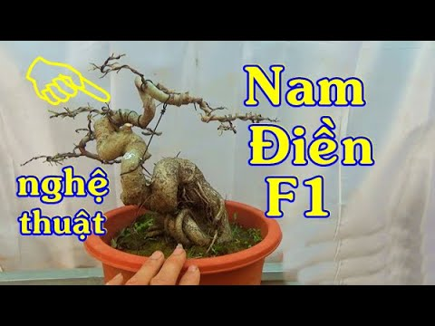 Bonsai SANH Nam Điền F1, Tùng kim, ĐT: 0337496058, ngày 26/12.